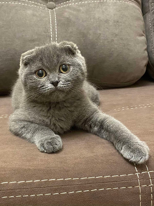 302 Friend   Scottish fold shorthair male kitten