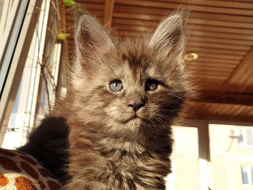 Yaguar Maine Coon in a black smoky color