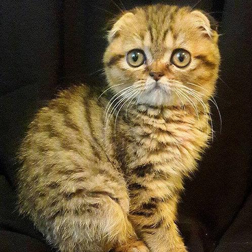 Stitch purebred Scottish fold kitten in a black tiger color