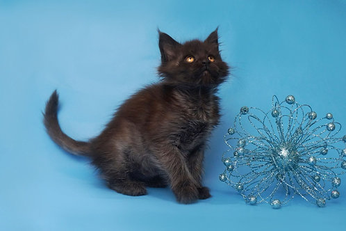 Galaxy Maine Coon black solid color female cat