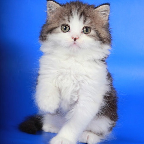Rochester Scottish highland male kitten with friendly personality