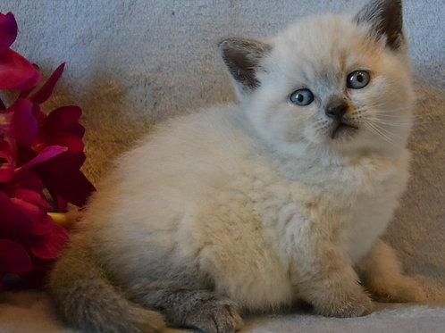 537 Fin Scottish straight shorthair male kitten
