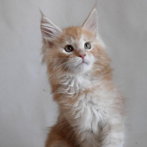 Danilo Maine Coon creamy color male kitten