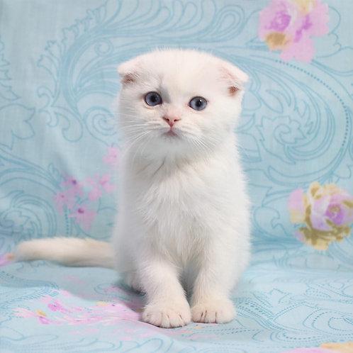 Fill Scottish fold shorthair male kitten
