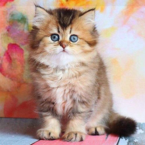 Adriana purebred British longhair female kitten