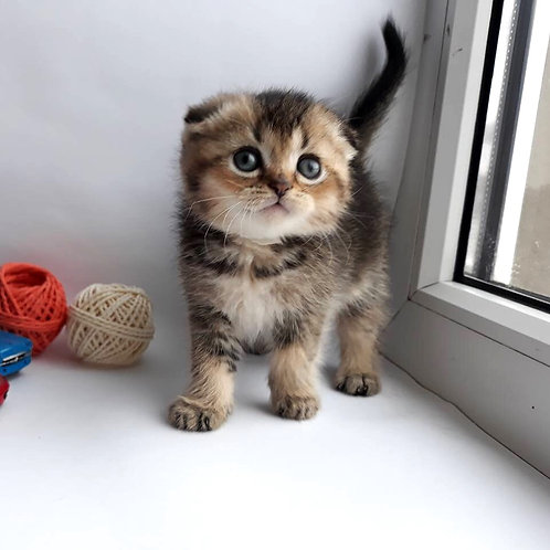 Lionel Scottish fold shorthair male kitten