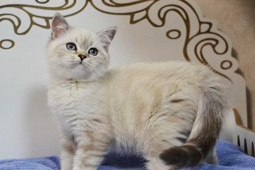 Tiana Scottish straight female kitten