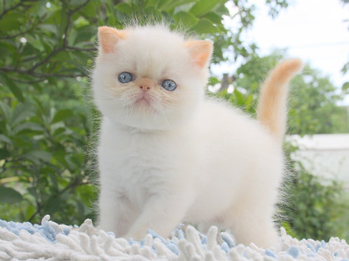 Snow Exotic shorthair male kitten with blue eyes