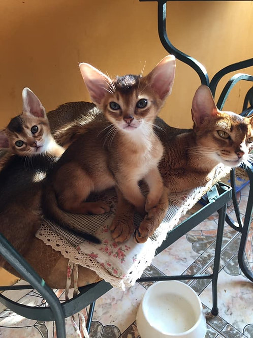 Mango purebred Abyssinian female kitten