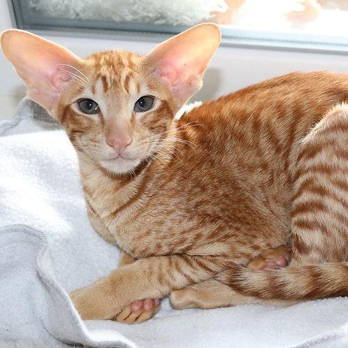 Dragon Lord Oriental male kitten