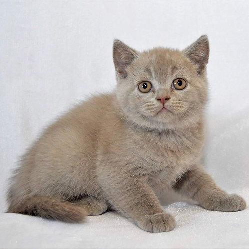Dexter purebred British shorthair boy