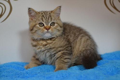 Boo purebred Scottish fold shorthair kitten