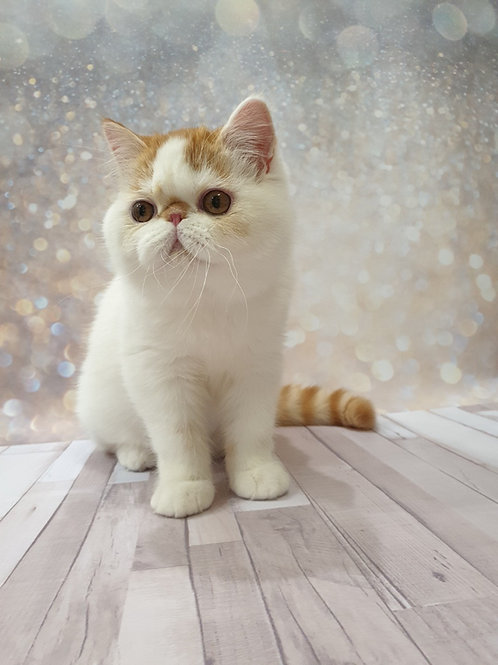 Felix Exotic shorthair male kitten