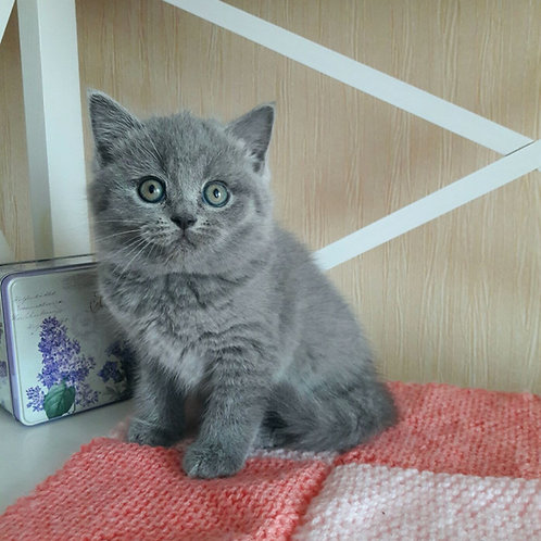 Xani British shorthair male kitten