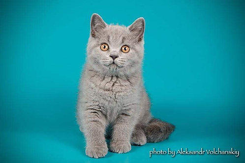 Cherry communicative British shorthair female kitten