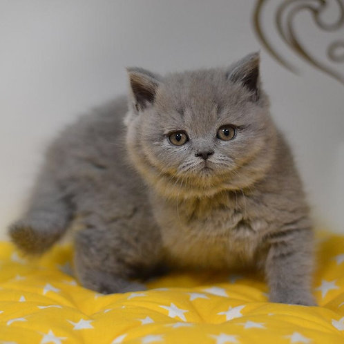 Businka Scottish straight shorthair female kitten