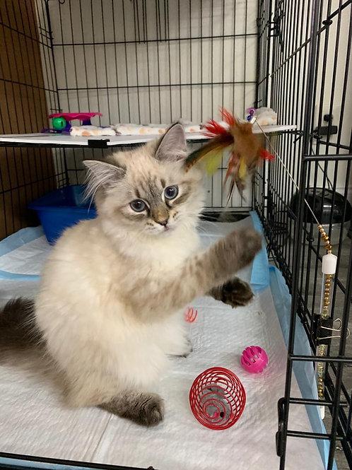 31 Edit  Siberian female kitten