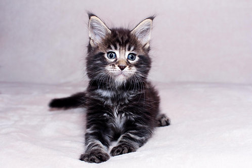 Plutus Maine Coon in a black marble color