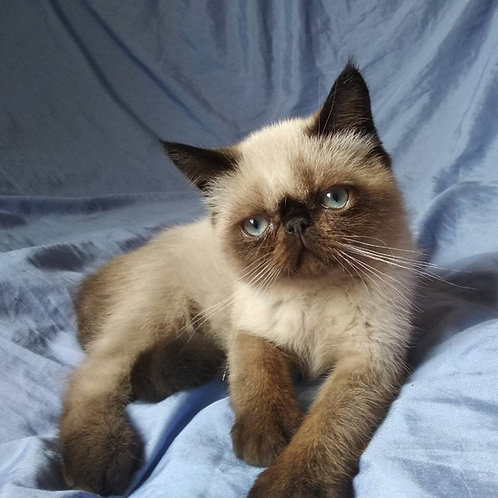 Yang exotic shorthair male kitten with chocolate shade and blue eyes