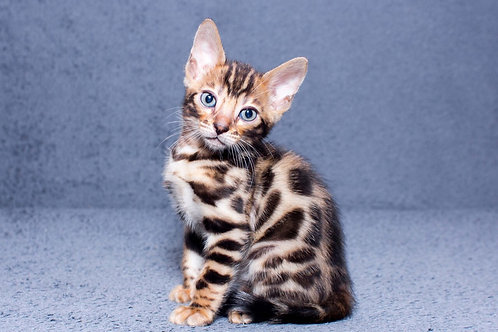 Mailik purebred Bengal male kitten
