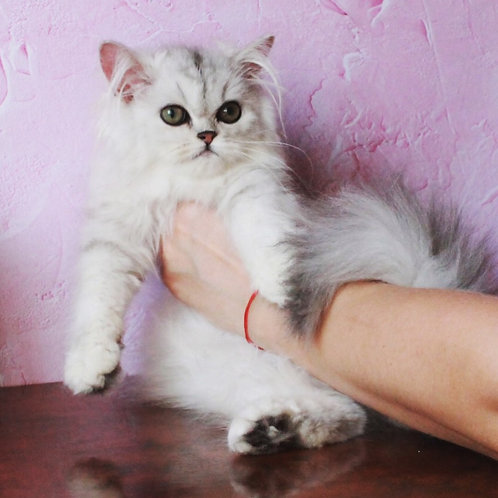 Rosy attractive Persian female kitten with green eyes