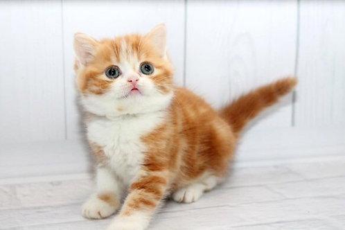 Vatrushka Scottish straight shorthair female kitten