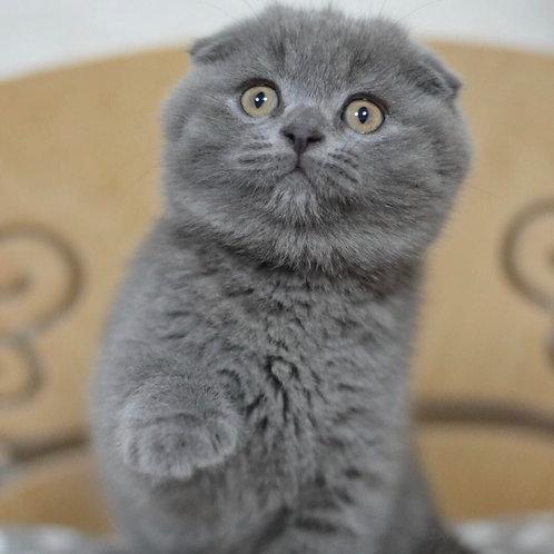 Kate Scottish fold shorthair female kitten