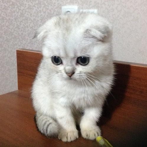 Jenona Scottish fold female kitten