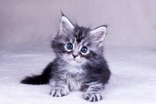 Odoria Maine Coon black silver color female kitten