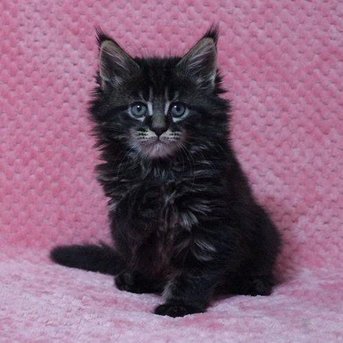 Felice Maine Coon kitten