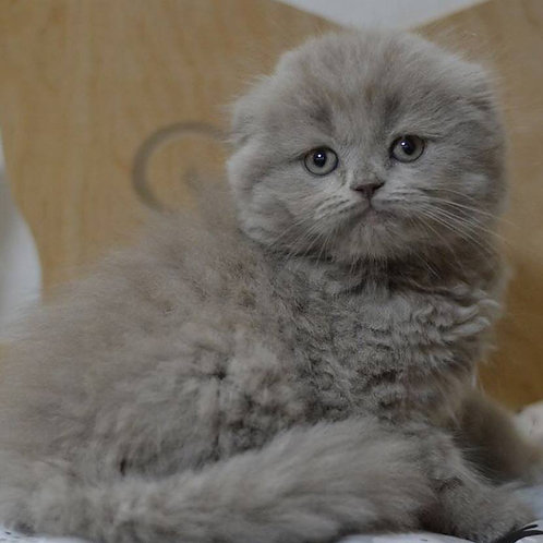 Hollister Scottish longhair male kitten with folded ears in lilac color