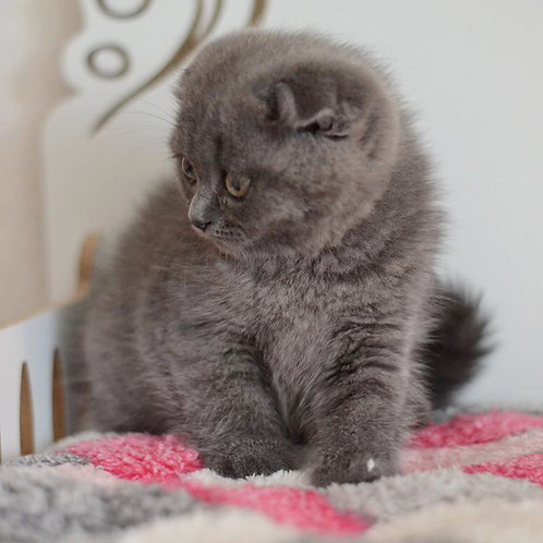 Molly female Scottish fold kitten in a blue color