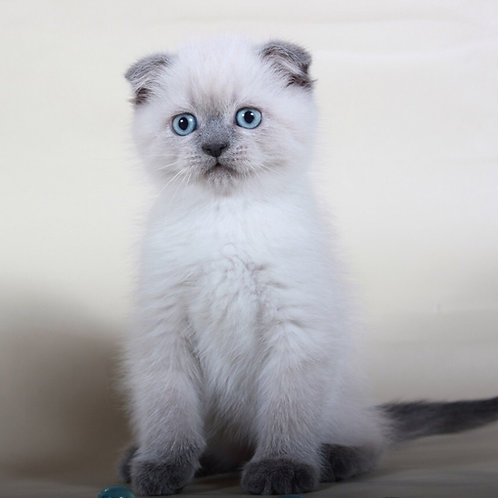 Jekson color point male Scottish fold kitten with blue eyes