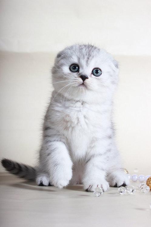 John Snow chinchilla color Scottish fold male kitten