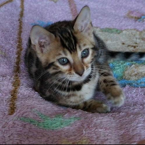 Zabava purebred Bengal female kitten