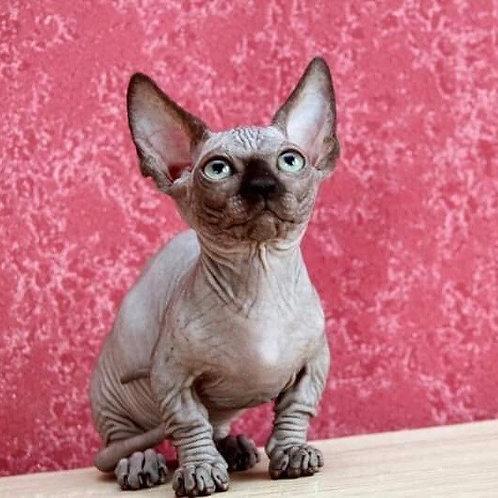 Oxy female Bambino kitten