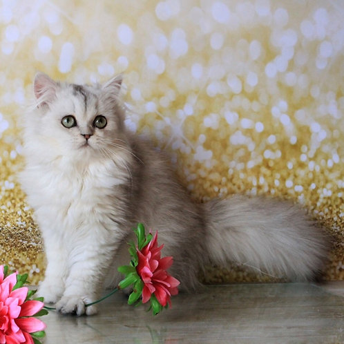 Flint Elit Bell black silver color male British kitten
