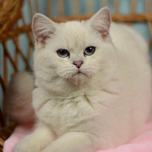 Olivia British shorthair female kitten