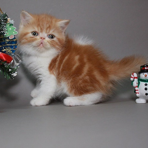 Larson red marble on white color Exotic shorthair male kitten