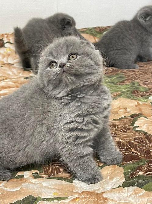 534 Federico Scottish fold shorthair male kitten