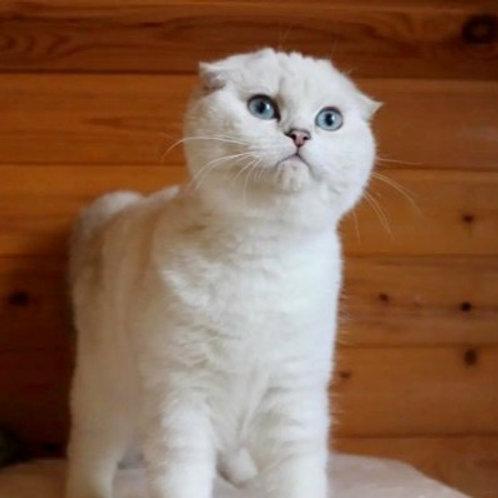 Genre Scottish fold male kitten