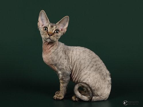 Freya Devon Rex female kitten in a brown tabby color