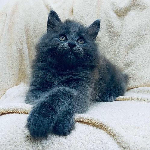 827 Federico Maine Coon male kitten
