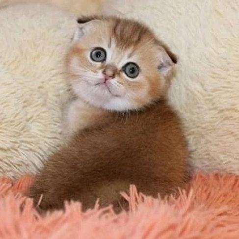 Alice Scottish fold shorthair female kitten
