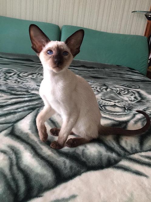 185 Busya    Oriental female kitten