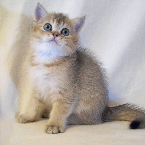 C-Wellington purebred British shorthair male kitten