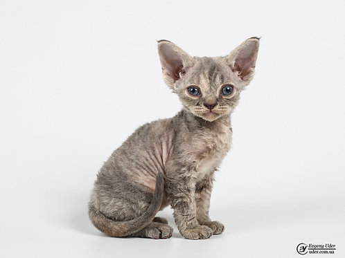 Funny purebred Devon Rex female kitten in a blue creamy color