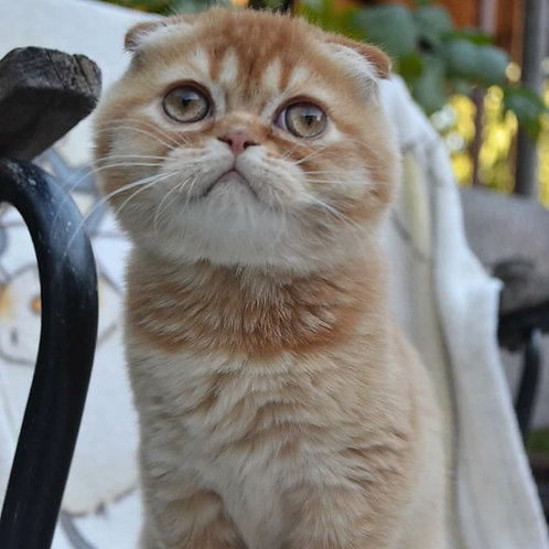 Charlie purebred red ticking color Scottish fold kitten