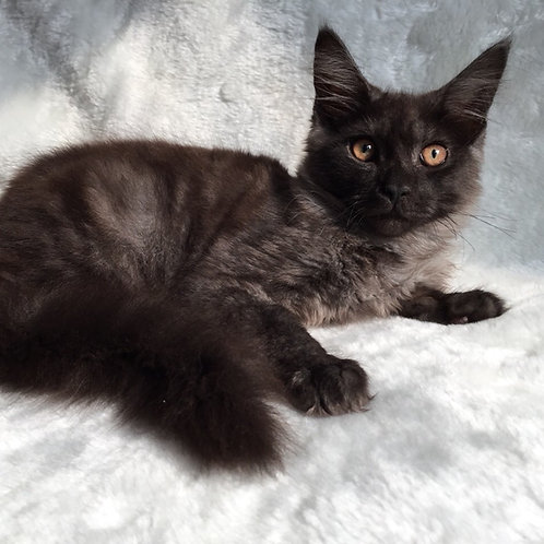 Amulet purebred black smoky color male Maine Coon