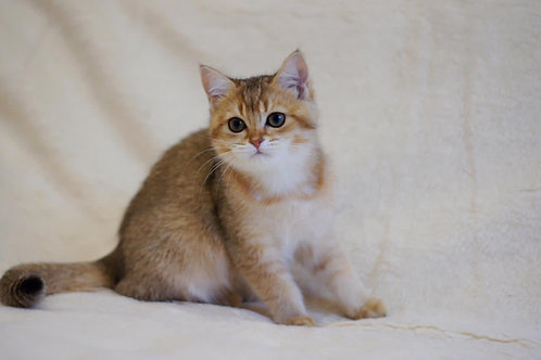197 Ilona  British shorthair female kitten